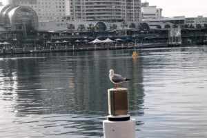 Möwe am Darling Harbour