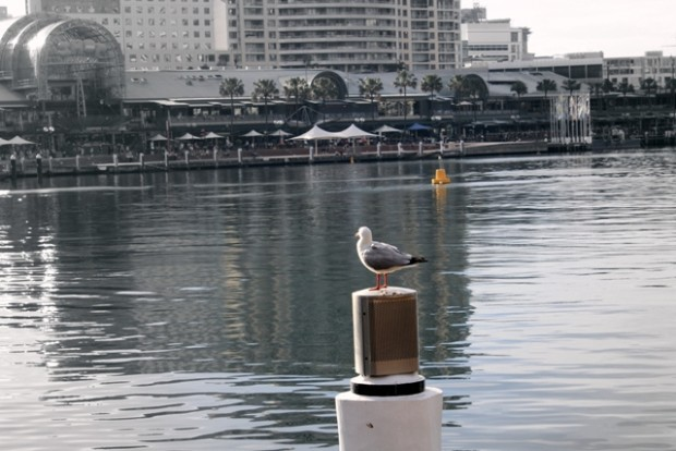 Möwe am Darling Harbour