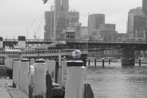 Möwe in Sydney
