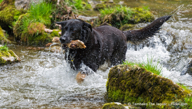 Black Dog running in the river