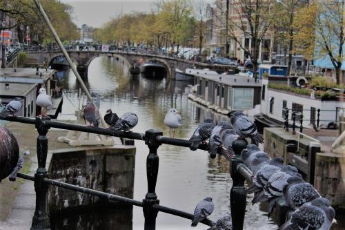 Amsterdam Tauben